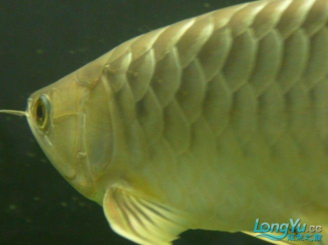 【西安最大的水族市场】秀下我的小高背 西安观赏鱼信息 西安博特第2张