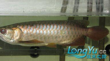从星点到高背到过背 西安观赏鱼信息 西安博特第5张