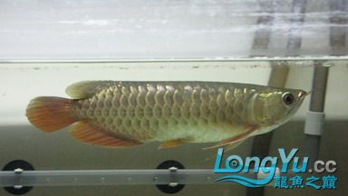 从星点到高背到过背 西安观赏鱼信息 西安博特第6张