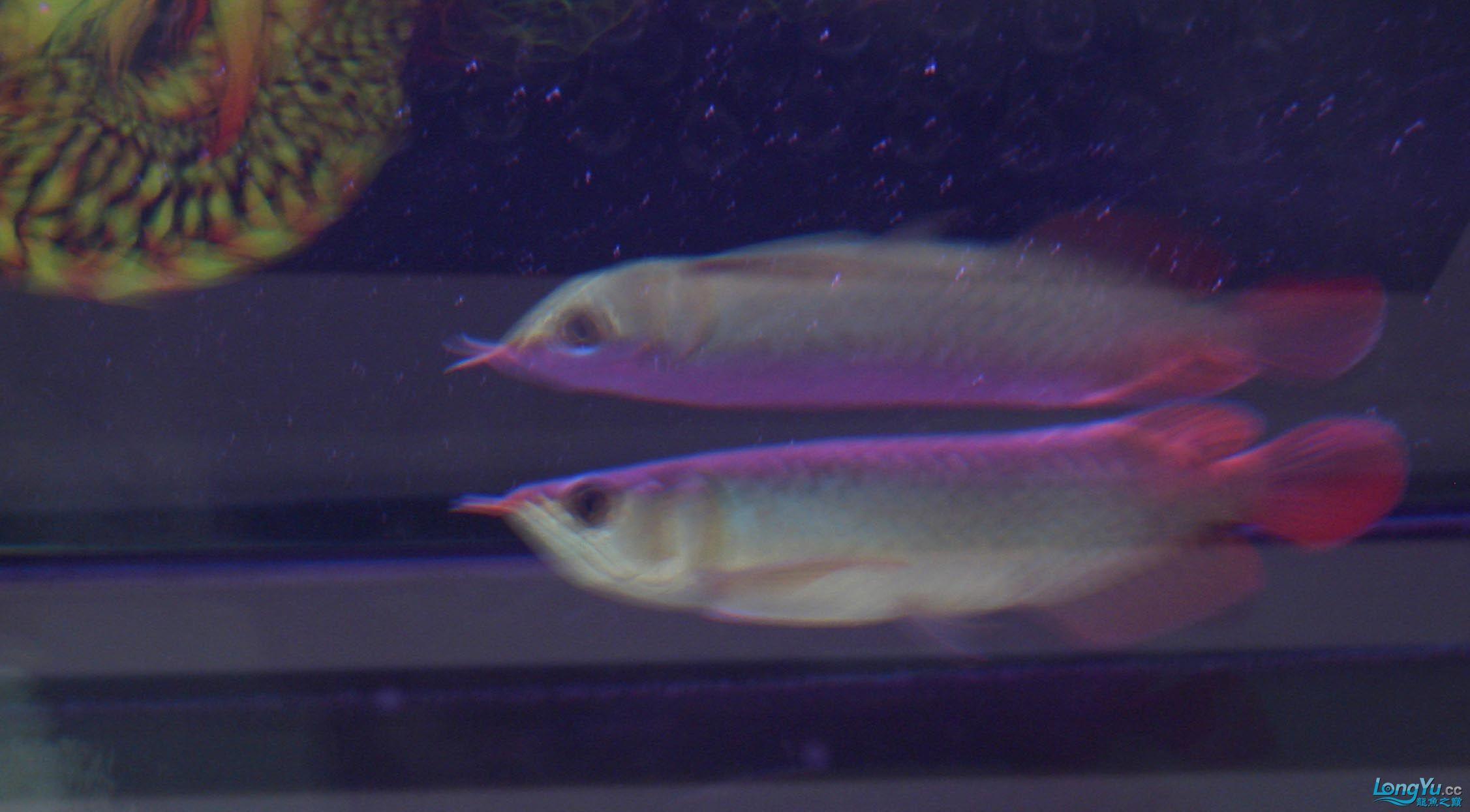 给15公分长须小超血建个档(5月7日更新——女皇大帆】23cm) 西安观赏鱼信息 西安博特第6张