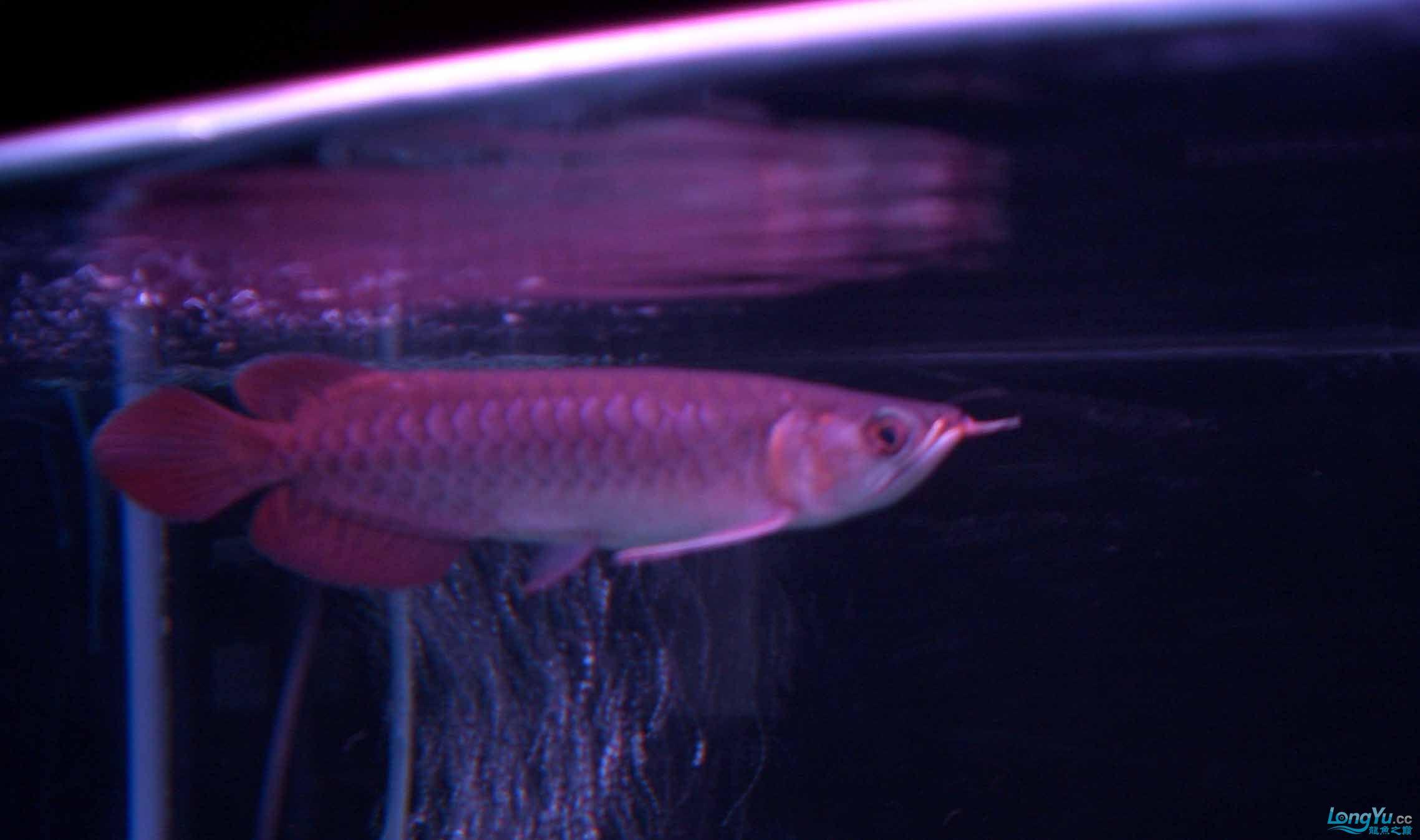 给15公分长须小超血建个档(5月7日更新——女皇大帆】23cm) 西安观赏鱼信息 西安博特第8张
