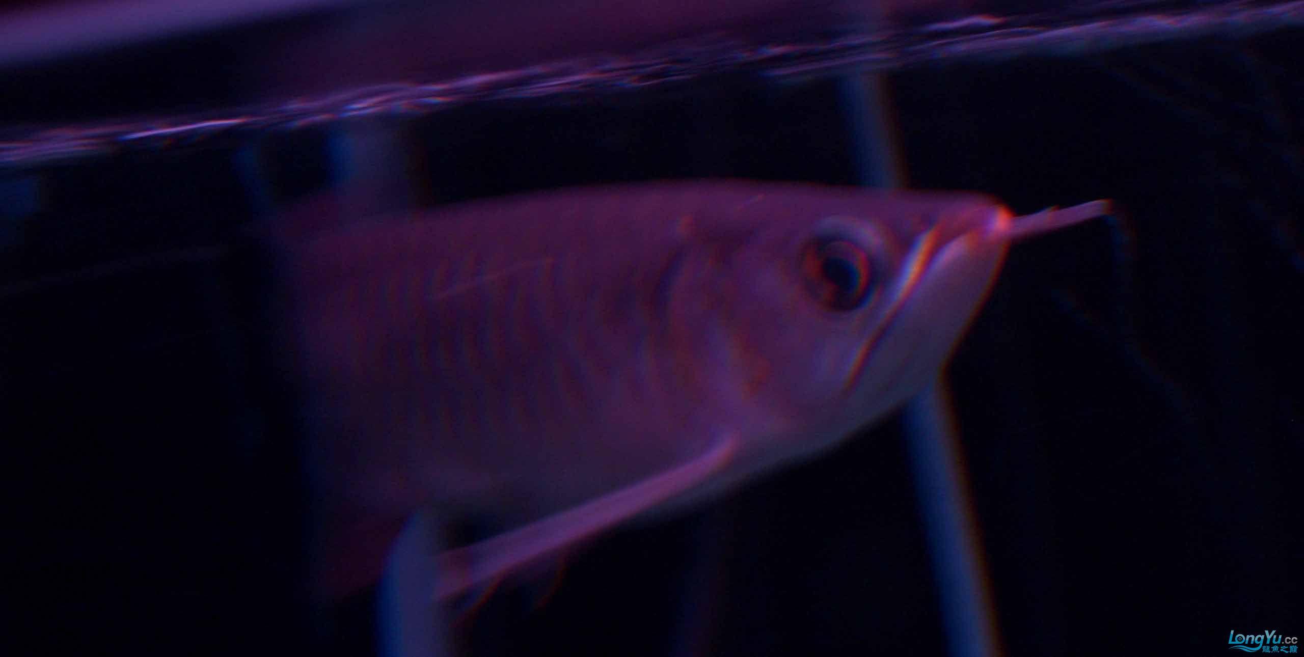 给15公分长须小超血建个档(5月7日更新——女皇大帆】23cm) 西安观赏鱼信息 西安博特第10张