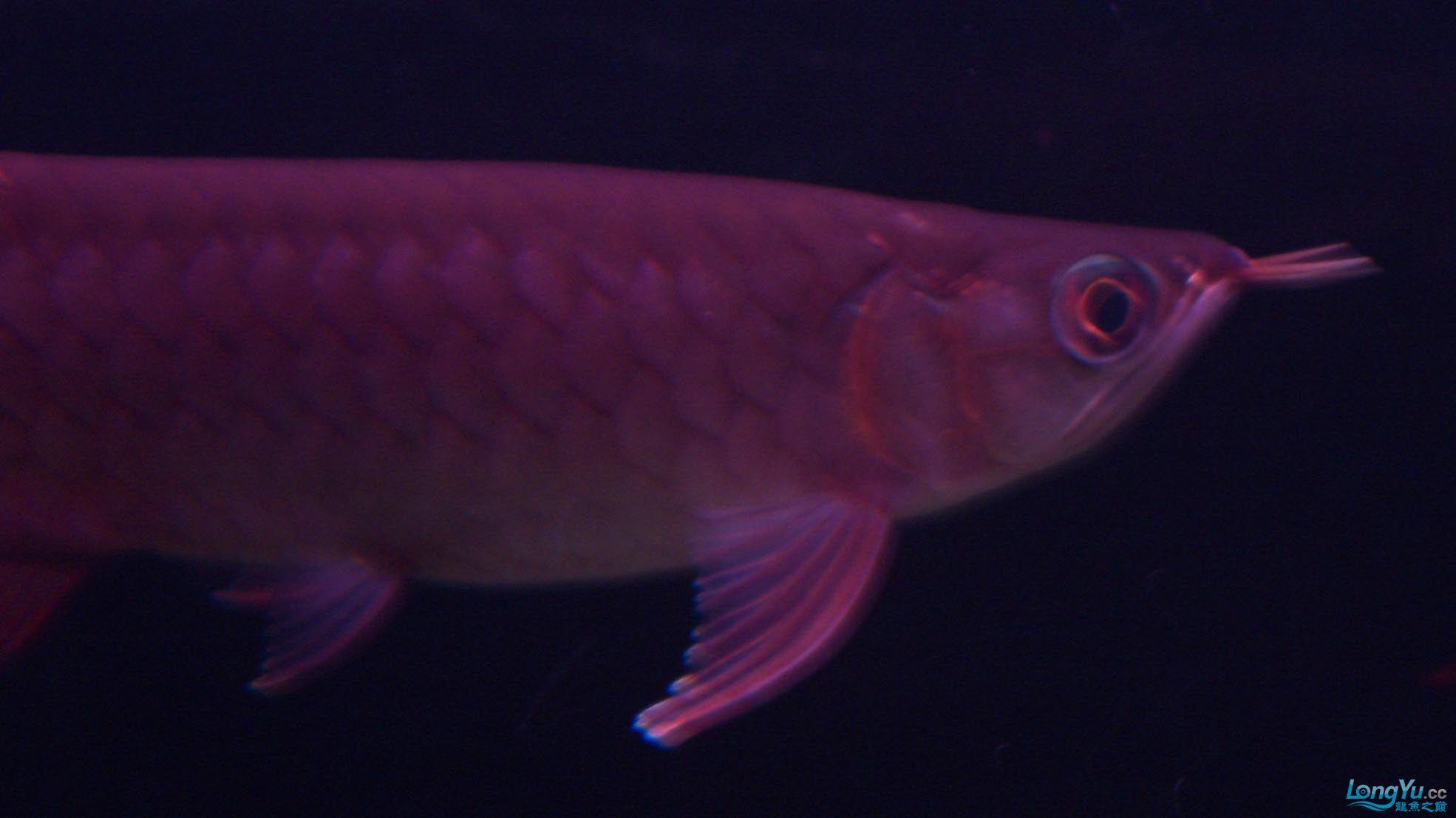给15公分长须小超血建个档(5月7日更新——女皇大帆】23cm) 西安观赏鱼信息 西安博特第11张