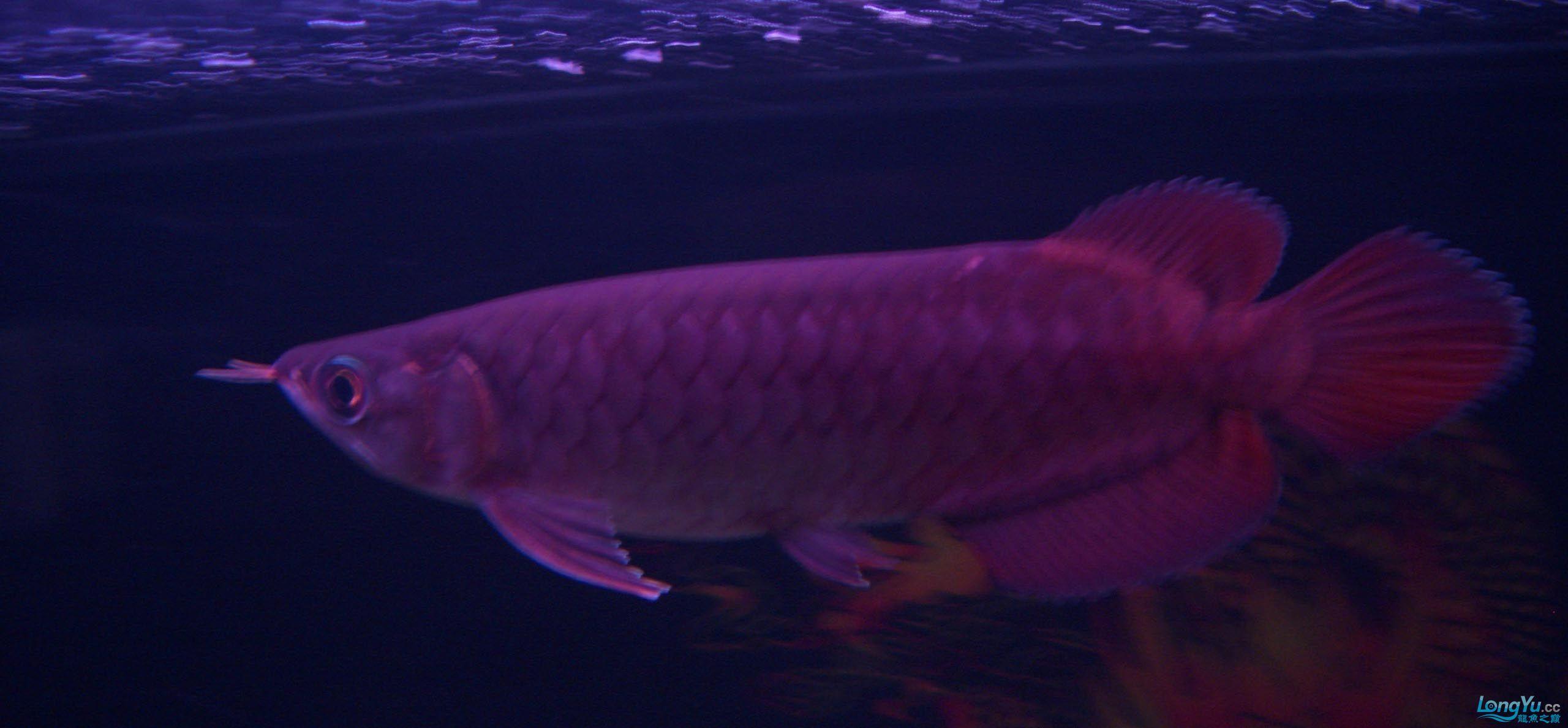 给15公分长须小超血建个档(5月7日更新——女皇大帆】23cm) 西安观赏鱼信息 西安博特第12张