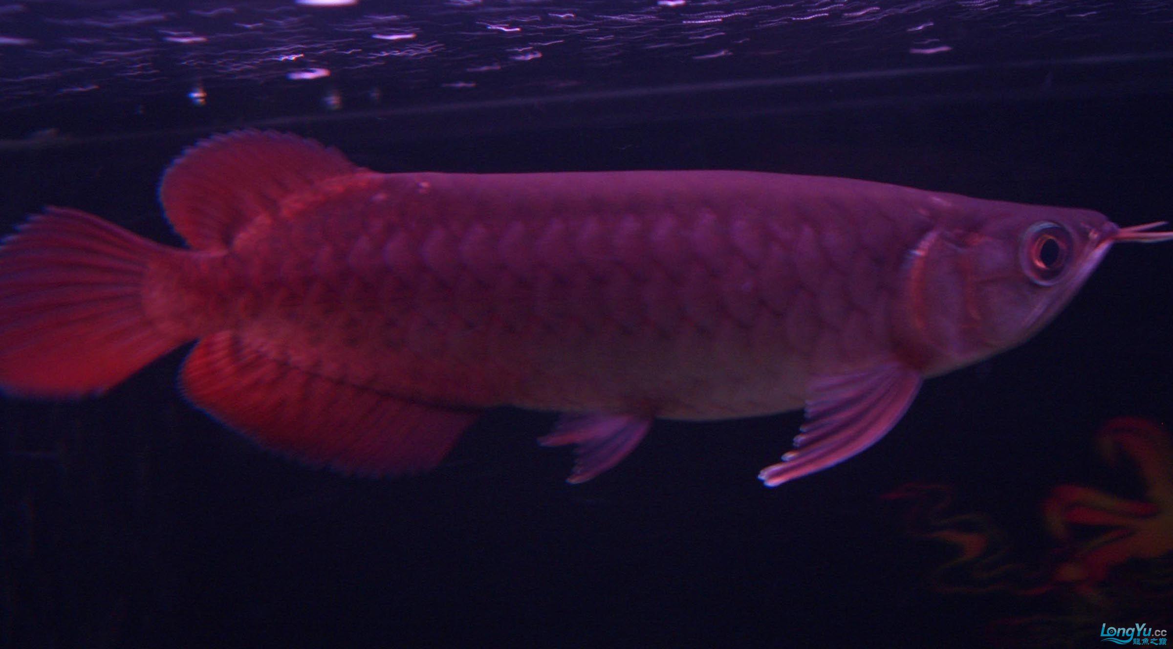 给15公分长须小超血建个档(5月7日更新——女皇大帆】23cm) 西安观赏鱼信息 西安博特第13张