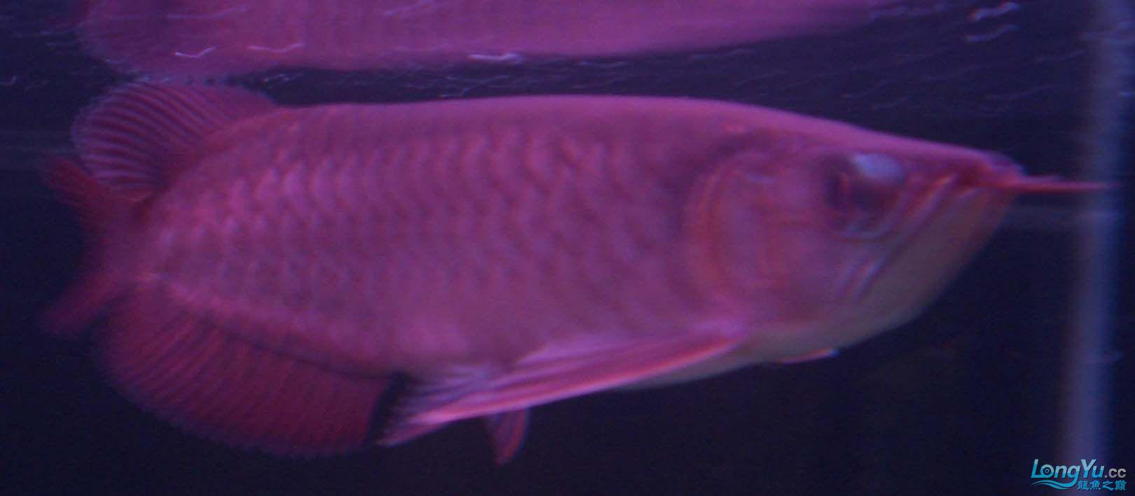 给15公分长须小超血建个档(5月7日更新——女皇大帆】23cm) 西安观赏鱼信息 西安博特第15张