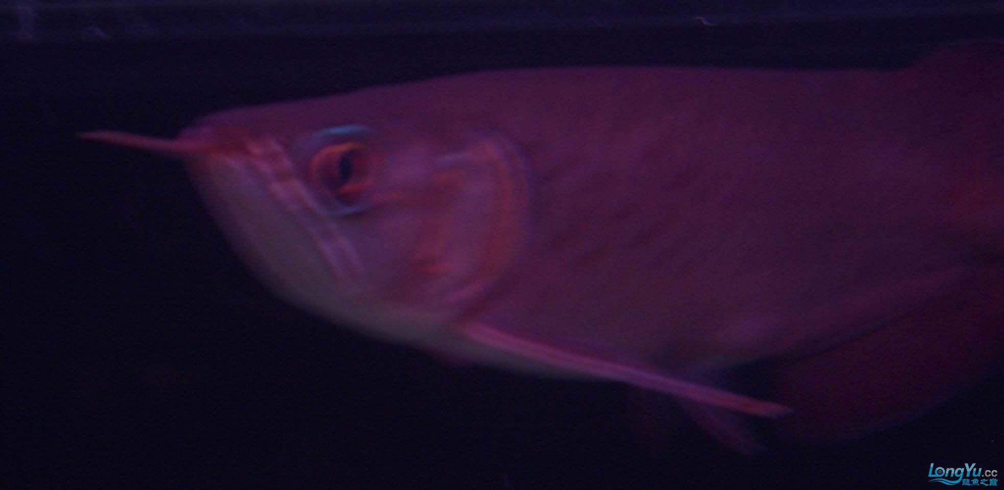 给15公分长须小超血建个档(5月7日更新——女皇大帆】23cm) 西安观赏鱼信息 西安博特第18张