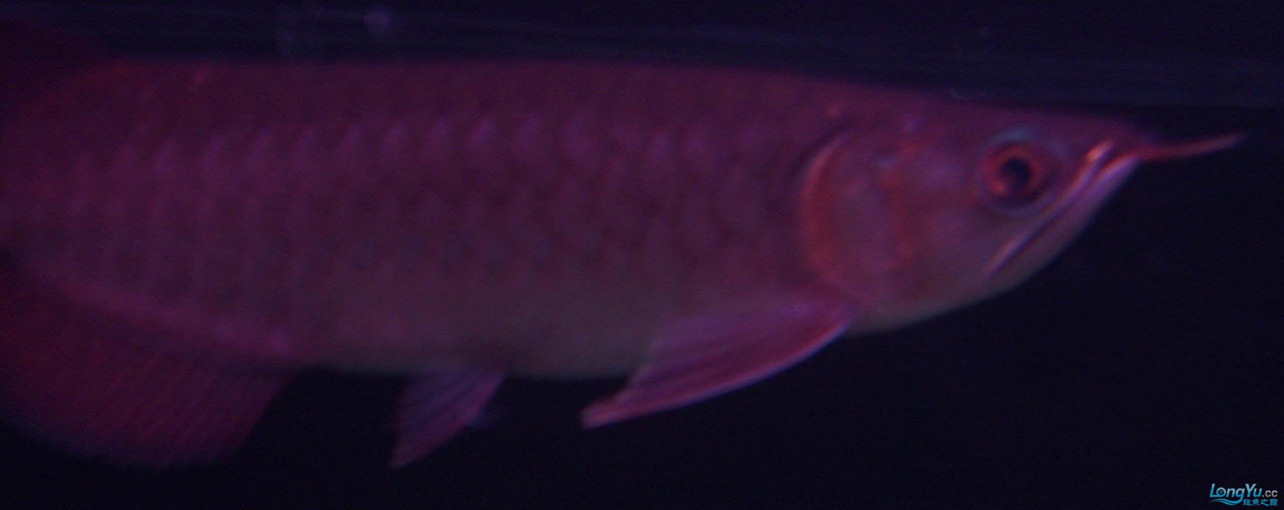给15公分长须小超血建个档(5月7日更新——女皇大帆】23cm) 西安观赏鱼信息 西安博特第21张