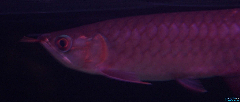 给15公分长须小超血建个档(5月7日更新——女皇大帆】23cm) 西安观赏鱼信息 西安博特第24张