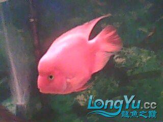 我【西安二手龙鱼】最喜爱的鹦鹉鱼! 西安观赏鱼信息 西安博特第2张