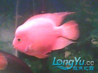 我【西安二手龙鱼】最喜爱的鹦鹉鱼! 西安观赏鱼信息 西安博特第4张