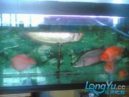 我【西安二手龙鱼】最喜爱的鹦鹉鱼! 西安观赏鱼信息 西安博特第8张