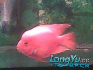 我【西安二手龙鱼】最喜爱的鹦鹉鱼! 西安观赏鱼信息 西安博特第10张