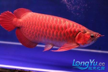 我【西安二手龙鱼】最喜爱的鹦鹉鱼! 西安观赏鱼信息 西安博特第9张