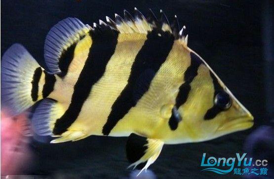【西安印尼虎鱼】漂亮的虎鱼!!!!!!!!!!!
