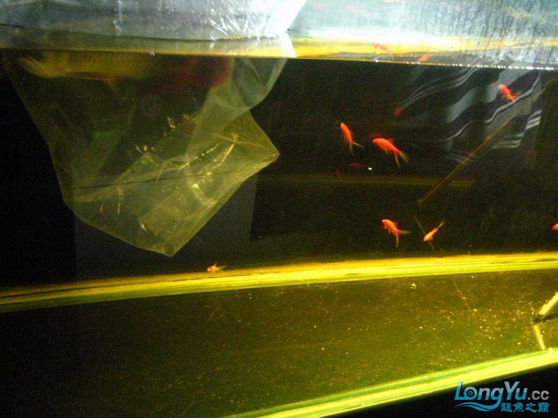 小红日记--小红进缸,过水中 西安龙鱼论坛 西安博特第3张