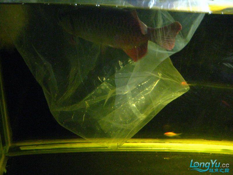 小红日记--小红进缸,过水中 西安龙鱼论坛 西安博特第2张