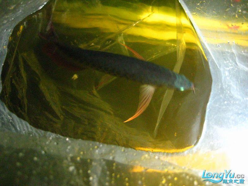小红日记--小红进缸,过水中 西安龙鱼论坛 西安博特第6张