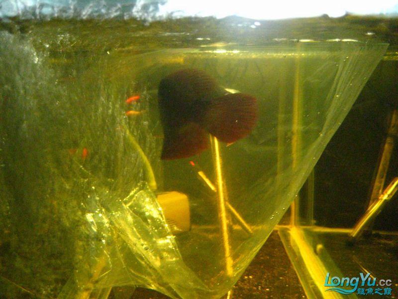 小红日记--小红进缸,过水中 西安龙鱼论坛 西安博特第7张