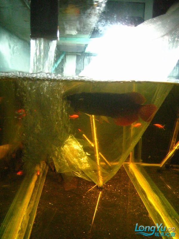 小红日记--小红进缸,过水中 西安龙鱼论坛 西安博特第9张