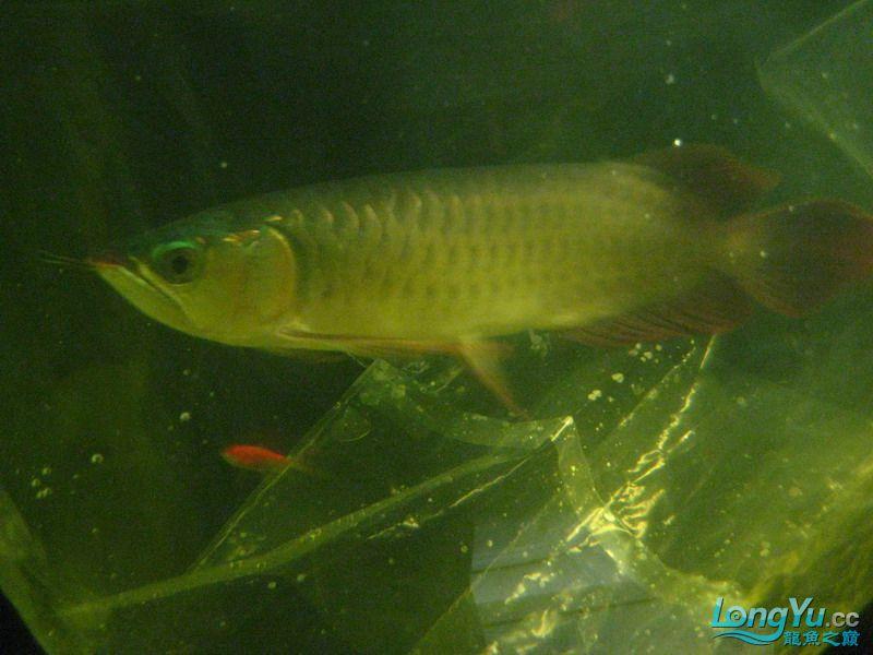 小红日记--小红进缸,过水中 西安龙鱼论坛 西安博特第16张