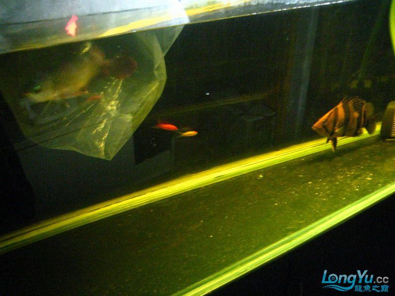 小红日记--小红进缸,过水中 西安龙鱼论坛 西安博特第12张