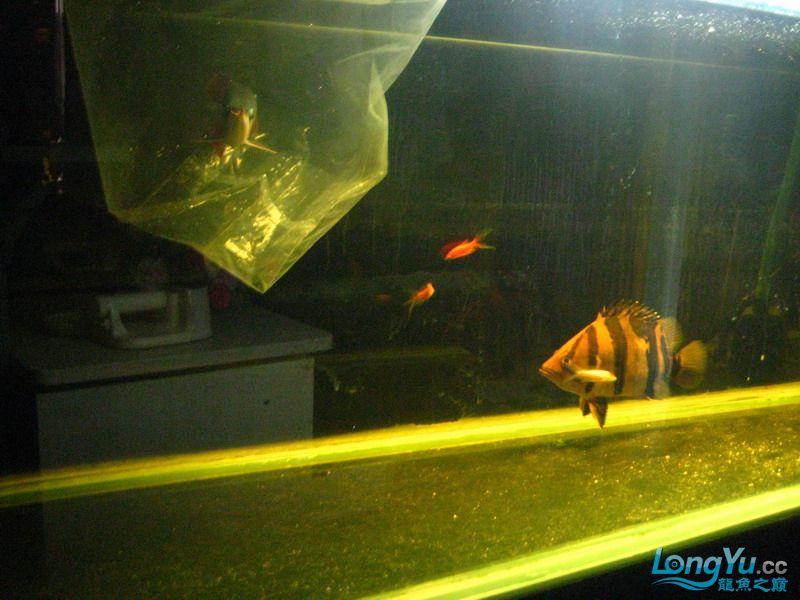 小红日记--小红进缸,过水中 西安龙鱼论坛 西安博特第13张