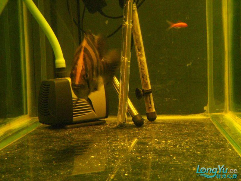 小红日记--小红进缸,过水中 西安龙鱼论坛 西安博特第20张