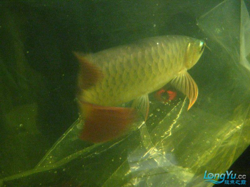 小红日记--小红进缸,过水中 西安龙鱼论坛 西安博特第18张