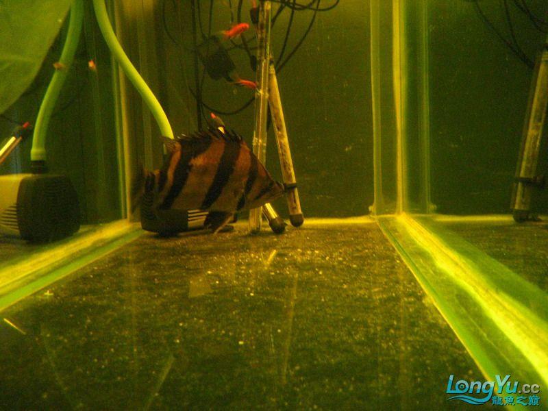 小红日记--小红进缸,过水中 西安龙鱼论坛 西安博特第19张