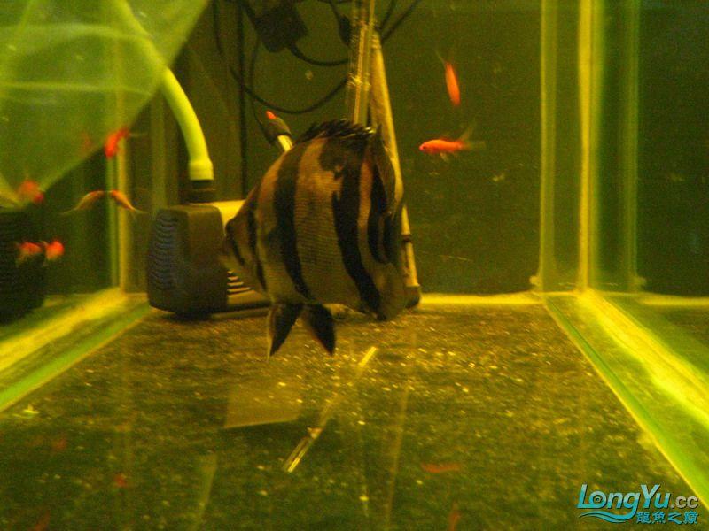小红日记--小红进缸,过水中 西安龙鱼论坛 西安博特第23张