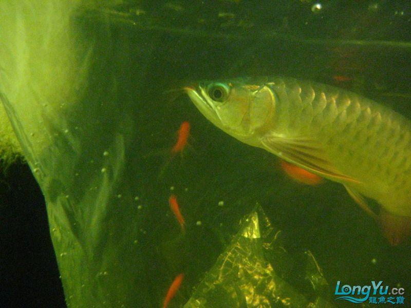 小红日记--小红进缸,过水中 西安龙鱼论坛 西安博特第29张