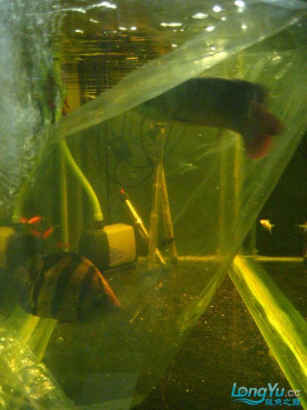 小红日记--小红进缸,过水中 西安龙鱼论坛 西安博特第32张