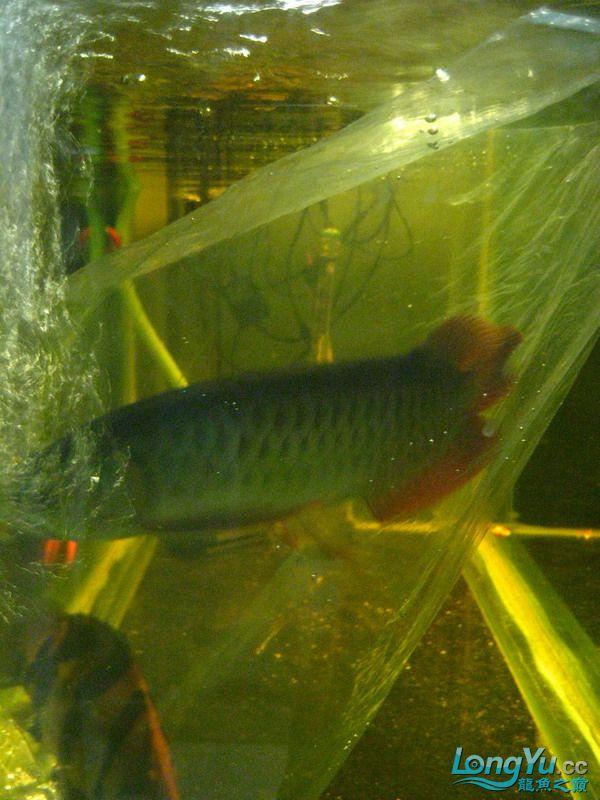 小红日记--小红进缸,过水中 西安龙鱼论坛 西安博特第30张