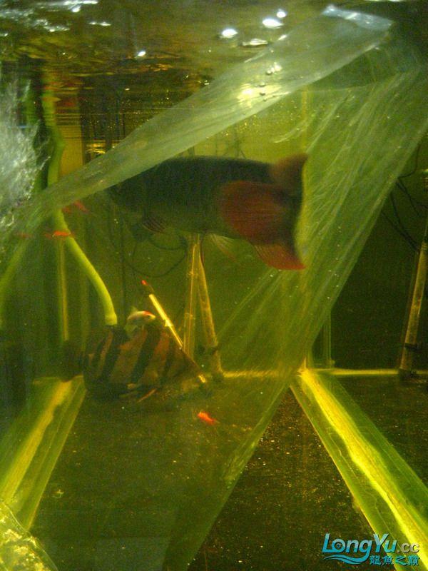小红日记--小红进缸,过水中 西安龙鱼论坛 西安博特第36张