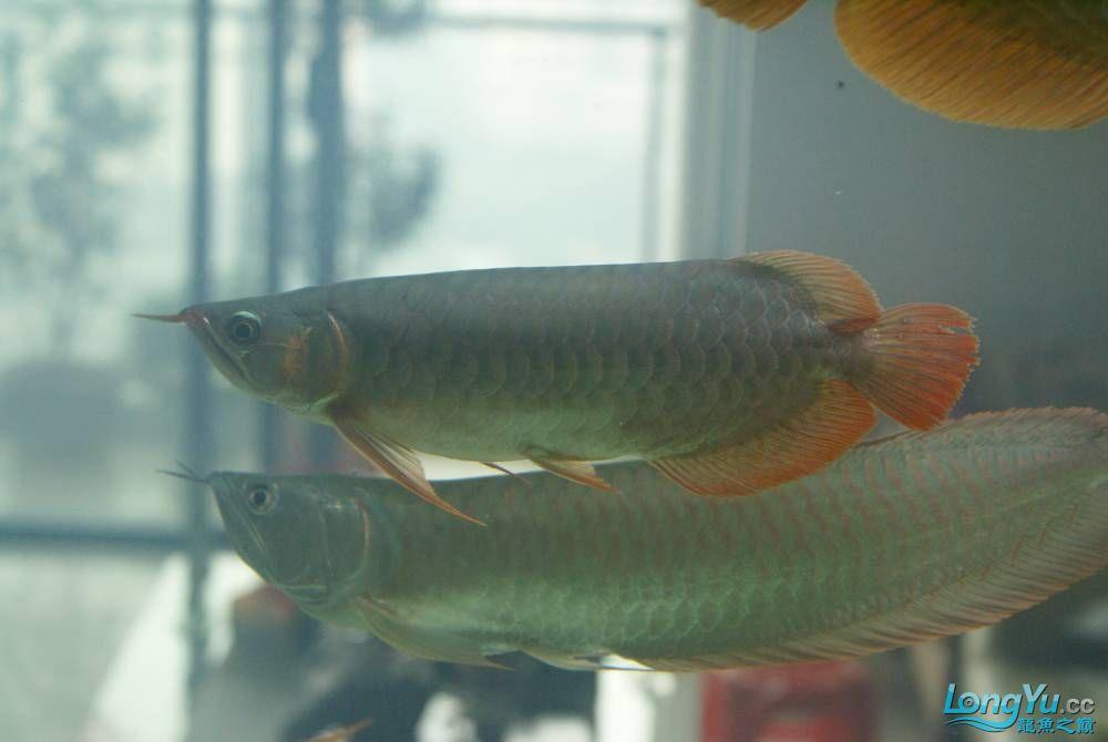 混养鱼【西安蓝底过背金龙】尾打伤了,请帮忙看看鱼尾是否需要做手术修复