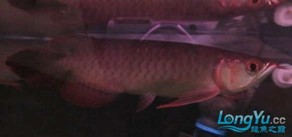 小龙龙鱼专卖 第一批精品红龙(20CM)货号2号 已售