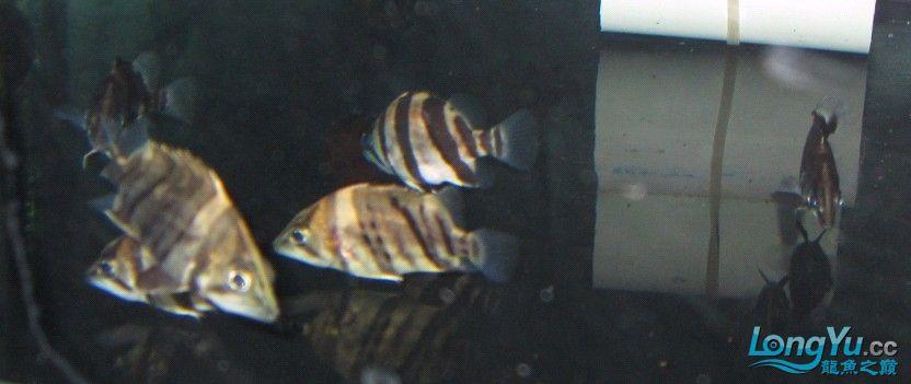 小龙鱼友俱乐部网店今日开张 凡是购买龙鱼 均送5条小印尼虎