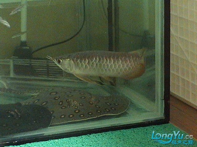 山东淄博 30公分宝石龙,35-40公分粗三纹印尼虎 大鳄龟 置换 虹鱼