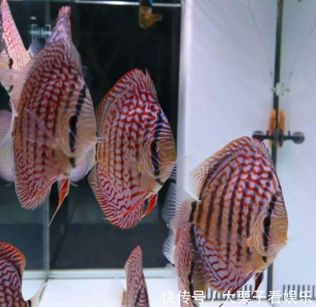 夫妻双方开渔场各管一种观赏鱼互不干涉内政!