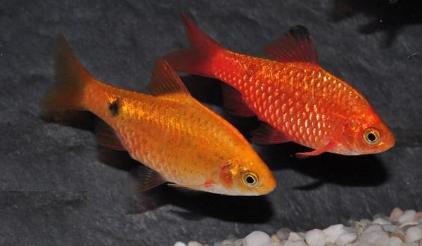 这种像小金鱼 但是两种颜色的观赏鱼叫什么