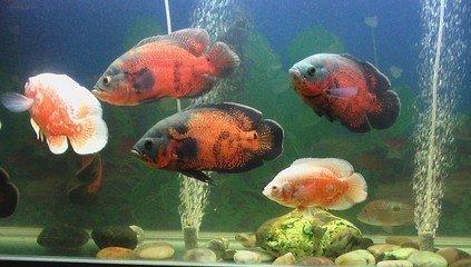 这种观赏鱼叫什么?