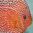 【西安龙鱼缸】新手想养一些观赏鱼请问有什么需要注意的吗? 西安观赏鱼信息 西安博特第3张