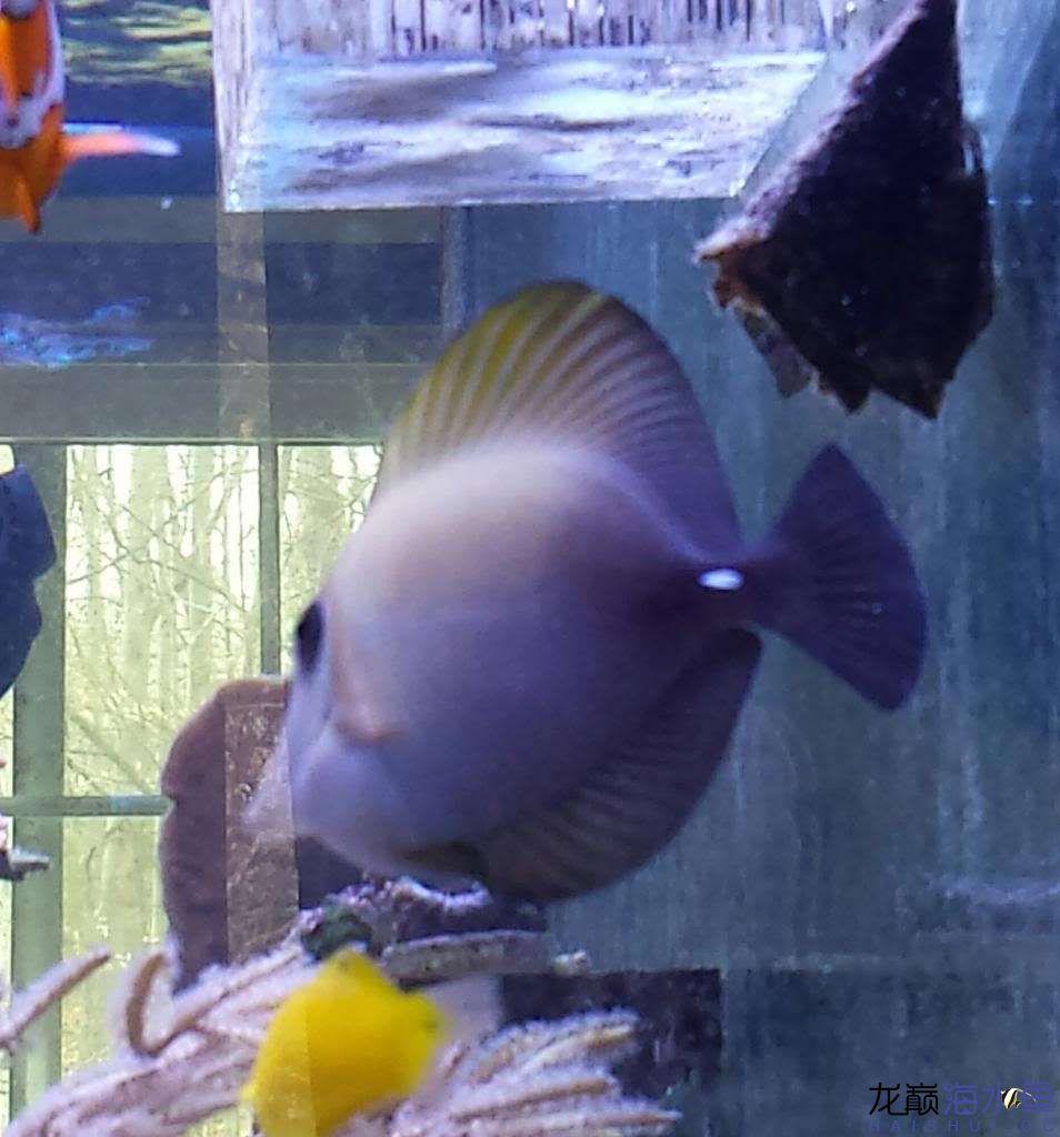 【西安白化鸭嘴鱼】小吊 西安观赏鱼信息 西安博特第3张