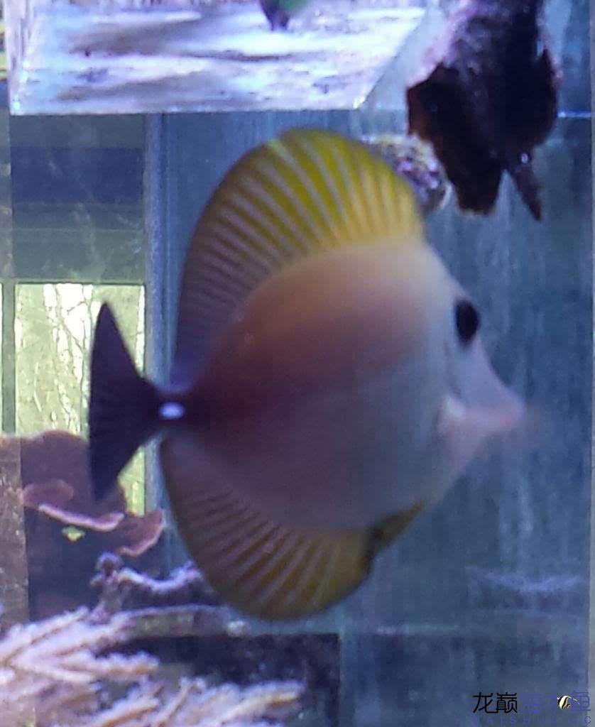 【西安白化鸭嘴鱼】小吊 西安观赏鱼信息 西安博特第2张