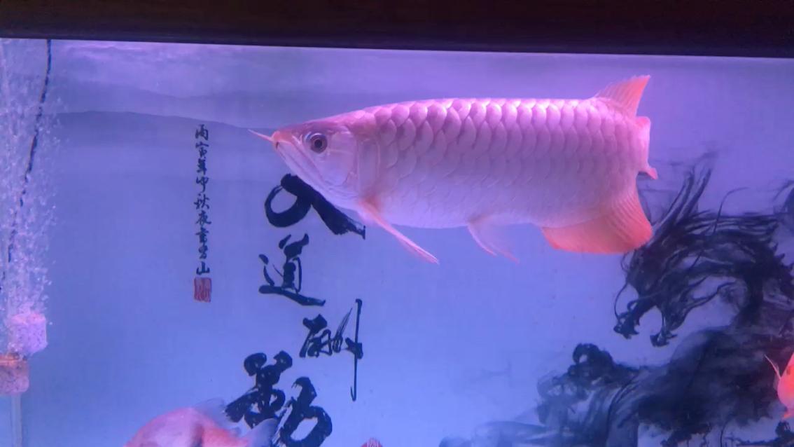 【西安小金龙】龙鱼打卡虎鱼 西安观赏鱼信息