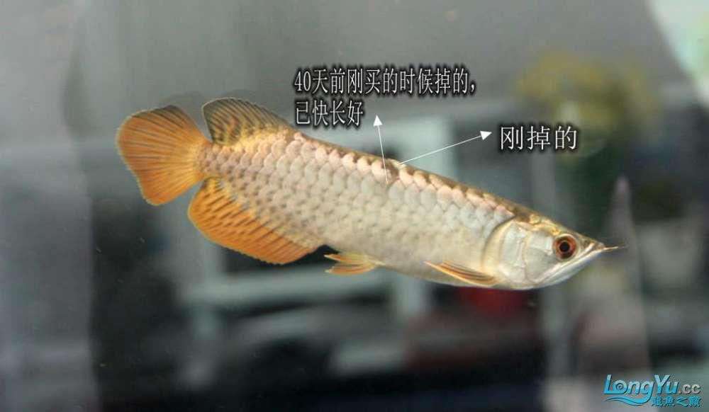 不知咋的掉一鳞心疼呀 西安观赏鱼信息 西安博特第2张