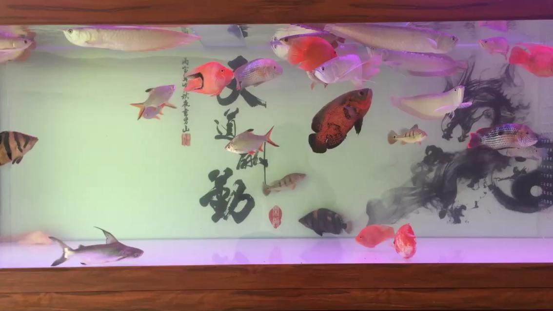 1红4金混养龙鱼