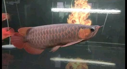 就吃饲料不吃鱼虾泥鳅怎么办 西安龙鱼论坛