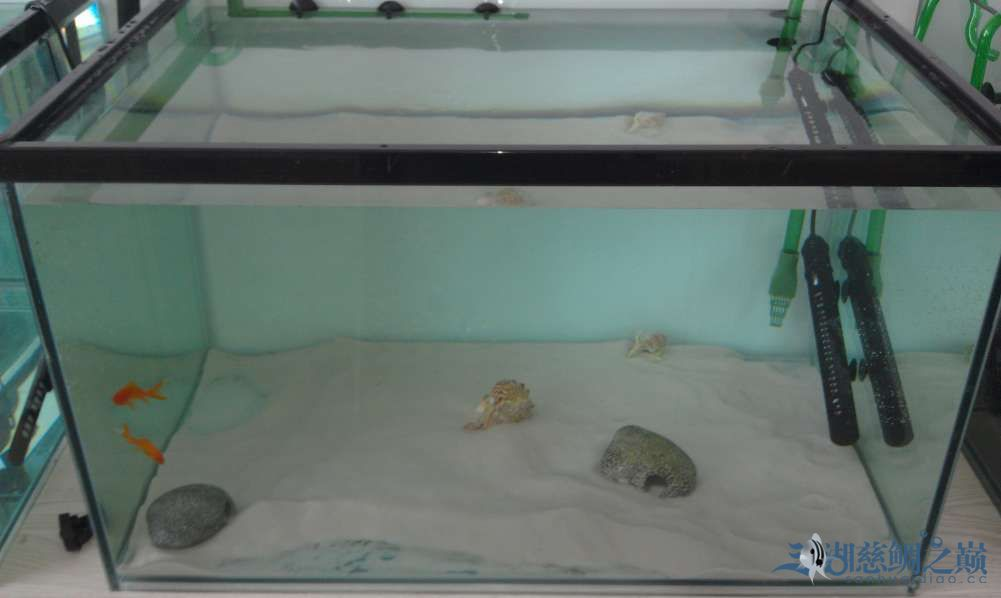 三湖慈鲷小试身手换水篇 西安观赏鱼信息 西安博特第8张